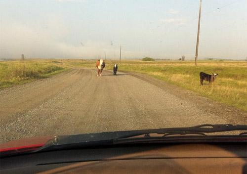 image cows-jpg
